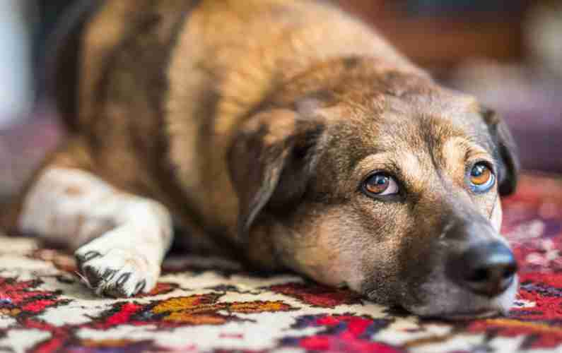 East Bay Oriental Rug Cleaning Pet Accidents